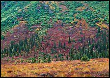 Tundra and conifers on hillside with autumn colors. Denali National Park, Alaska, USA. (color)