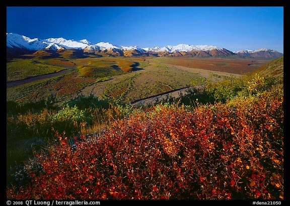 Berry plants, wide valley and gravel bars from seen from above, morning. Denali National Park (color)