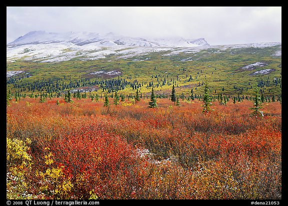 Berry plants in autumn color with early snow on mountains. Denali National Park, Alaska, USA.