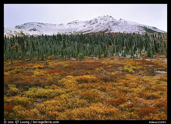 Tundra, spruce trees, and mountains with fresh snow in fall. Denali National Park, Alaska, USA.