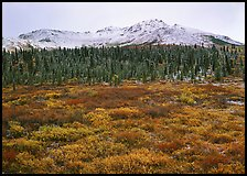 Tundra, spruce trees, and mountains with fresh snow in fall. Denali National Park ( color)