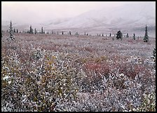 Berry leaves, trees, and mountains in fog with dusting of fresh snow. Denali National Park, Alaska, USA.
