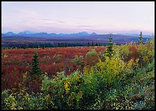 Autumn bushes, tundra, and Alaska range at dusk. Denali National Park, Alaska, USA.