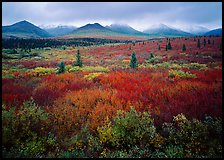 Mosaic of colors on tundra and lower peaks in stormy weather. Denali National Park, Alaska, USA.