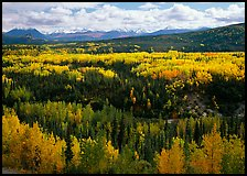 Yellow aspens and Panorama Range, Riley Creek drainage. Denali National Park, Alaska, USA. (color)