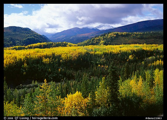 Aspens in fall colors and mountains near Riley Creek. Denali National Park (color)