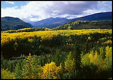 Aspens in fall colors and mountains near Riley Creek. Denali National Park, Alaska, USA.