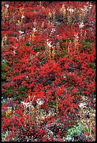 Dwarf tundra plants with red fall colors. Denali National Park, Alaska, USA. (color)
