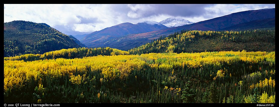 Yellow aspens and boreal forest. Denali National Park (color)
