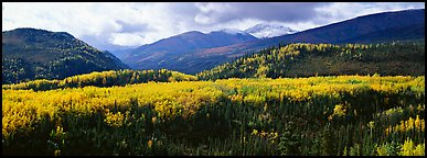 Yellow aspens and boreal forest. Denali National Park (Panoramic color)