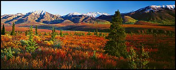 Tundra scenery with trees and mountains in autumn. Denali  National Park (Panoramic color)