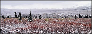 Tundra scenery with early fresh snow. Denali National Park (Panoramic color)