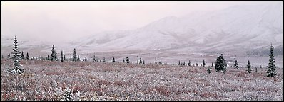 Misty mountain scenery with fresh snow on tundra. Denali  National Park (Panoramic color)