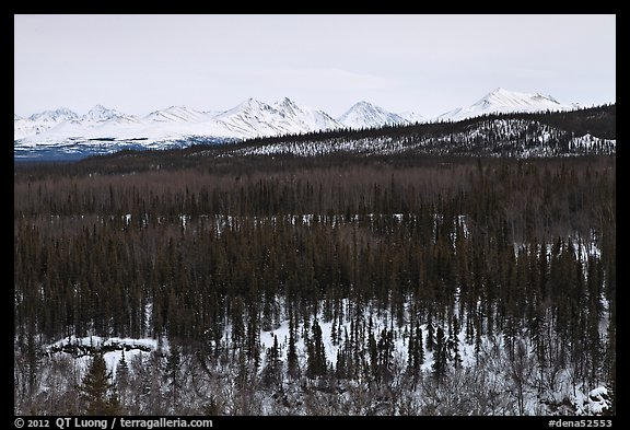 Bare forest in winter. Denali National Park (color)