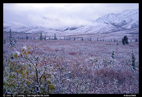 Fresh snow on berry plants near Savage River. Denali National Park (color)