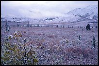 Fresh snow on berry plants near Savage River. Denali National Park, Alaska, USA.