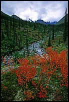 Berry plants in fall color and Arrigetch creek. Gates of the Arctic National Park, Alaska, USA. (color)
