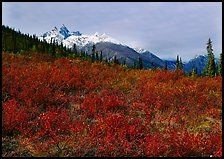 Red tundra shrubs and Arrigetch Peaks in the distance. Gates of the Arctic National Park ( color)