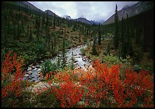 Bright berry leaves, boreal forest, Arrigetch Creek. Gates of the Arctic National Park ( color)