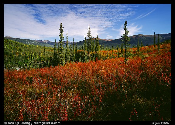 Black Spruce and berry plants in autumn foliage, Alatna Valley. Gates of the Arctic National Park (color)