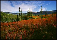 Black Spruce and berry plants in autumn foliage, Alatna Valley. Gates of the Arctic National Park, Alaska, USA.