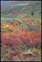 Tundra on mountain side in autumn. Gates of the Arctic National Park, Alaska, USA.