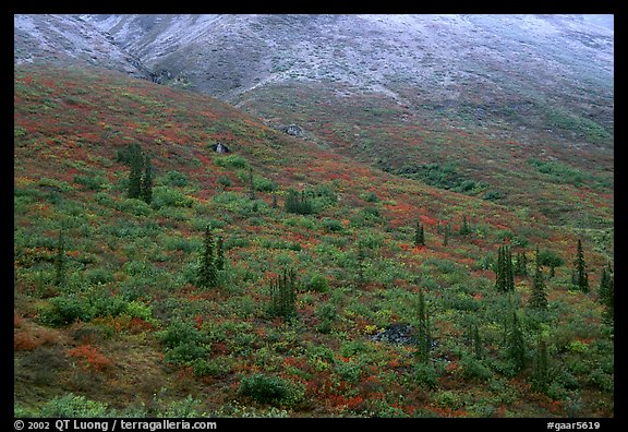 Tundra and spruce trees on mountain side below snow line. Gates of the Arctic National Park (color)