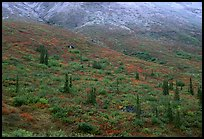 Tundra and spruce trees on mountain side below snow line. Gates of the Arctic National Park, Alaska, USA.