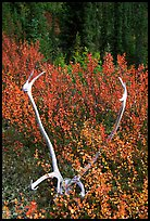 Caribou antlers. Gates of the Arctic National Park, Alaska, USA. (color)