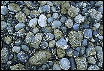 Rocks covered with mussels at low tide, Muir inlet. Glacier Bay National Park, Alaska, USA.