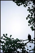 Blad eagle perched on tree branch. Glacier Bay National Park ( color)