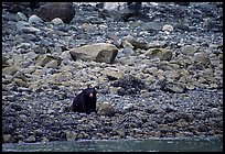 Black bear digging for clams. Glacier Bay National Park, Alaska, USA. (color)