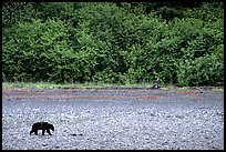 Grizzly bear on beach. Glacier Bay National Park, Alaska, USA. (color)