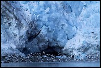 Sea birds at the base of Lamplugh glacier. Glacier Bay National Park, Alaska, USA. (color)