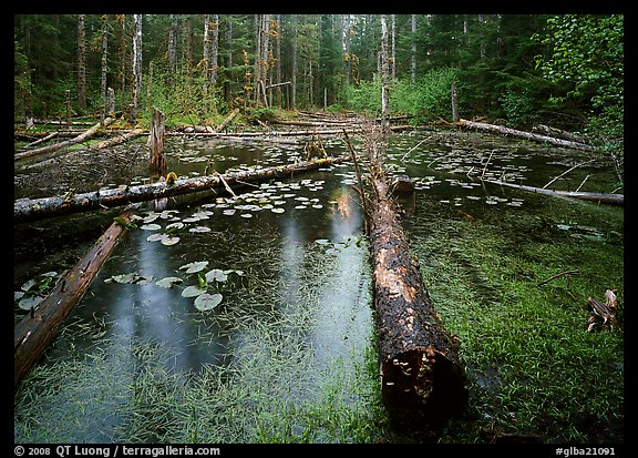 Trunks in rainforest pond, Bartlett Cove. Glacier Bay National Park (color)