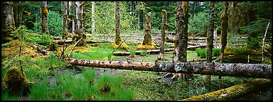 Temperate rainforest scenery. Glacier Bay National Park (Panoramic color)