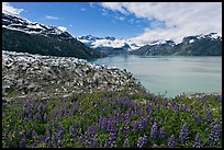 Lupine, Lamplugh glacier, and West Arm. Glacier Bay National Park, Alaska, USA.