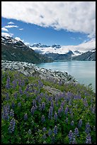 Lupine, Lamplugh glacier, and the Bay seen from a high point. Glacier Bay National Park, Alaska, USA.