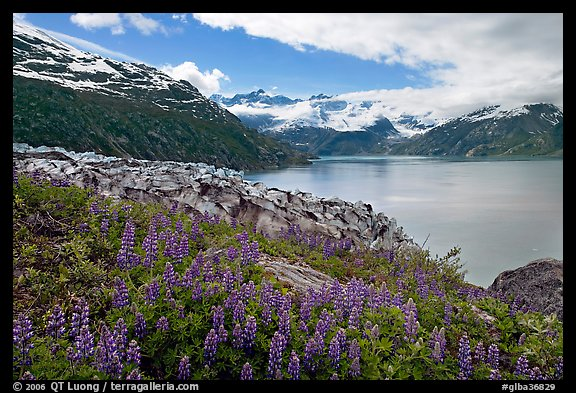 Lupine, Lamplugh glacier, and turquoise bay waters. Glacier Bay National Park (color)