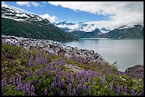 Lupine, Lamplugh glacier, and turquoise bay waters. Glacier Bay National Park, Alaska, USA.