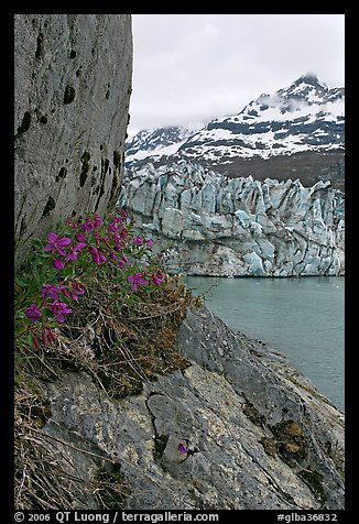 Dwarf fireweed, Lamplugh glacier, and Mt Cooper. Glacier Bay National Park (color)