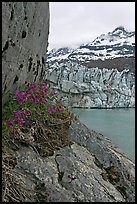 Dwarf fireweed, Lamplugh glacier, and Mt Cooper. Glacier Bay National Park, Alaska, USA.