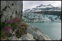 Rock ledge with dwarf fireweed, Lamplugh glacier, and Mt Cooper. Glacier Bay National Park, Alaska, USA.