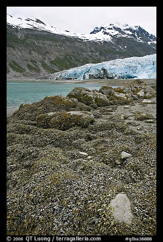 Beach with seaweed exposed at low tide in Reid Inlet. Glacier Bay National Park (color)
