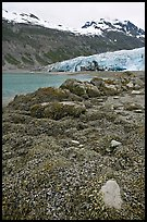Beach with seaweed exposed at low tide in Reid Inlet. Glacier Bay National Park, Alaska, USA.