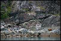 Grizzly bear on rocks by the water. Glacier Bay National Park, Alaska, USA. (color)