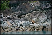 Grizzly bear and boulders by the water. Glacier Bay National Park, Alaska, USA. (color)
