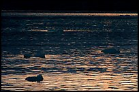 Ripples and icebergs at sunset, Tarr Inlet. Glacier Bay National Park ( color)