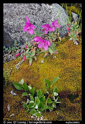 Moss, dwarf fireweed, and rock. Glacier Bay National Park, Alaska, USA.