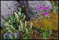 Moss, dwarf fireweed, and rocks. Glacier Bay National Park, Alaska, USA. (color)